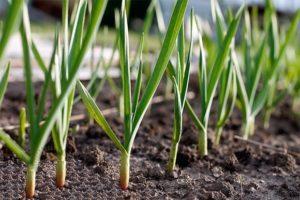 Как растет чеснок