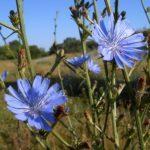Растение цикорий - цветок