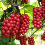 лимонник (шизандра) - ягоды