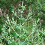 Растение чиа или испанский шалфей