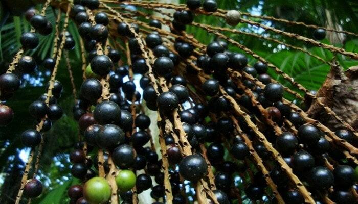 Ягоды асаи - полезные свойства