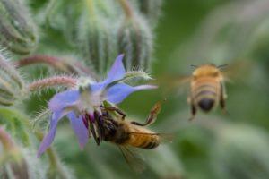 Мед бораго (огуречника) -польза для организма