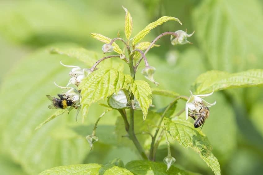 Малиновый мед - ценность и польза