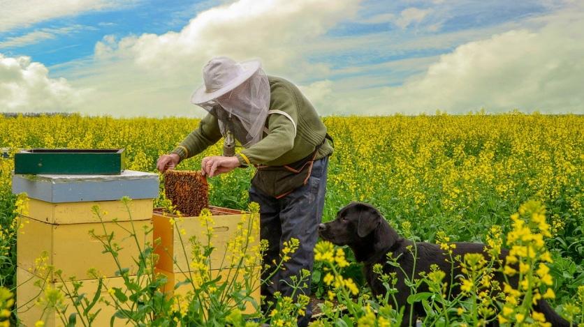 Рапсовый мед - лекарство от болезней