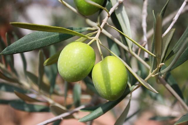 Оливки и Оливковые деревья