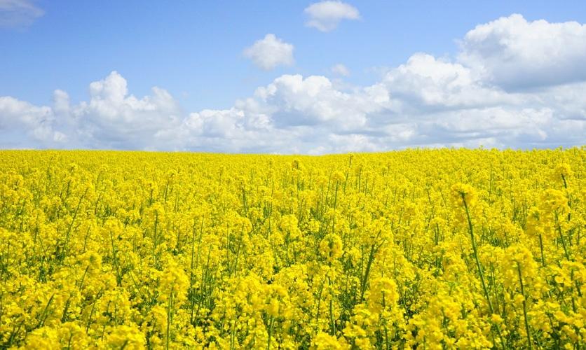 рапсовое масло из семян  канолы