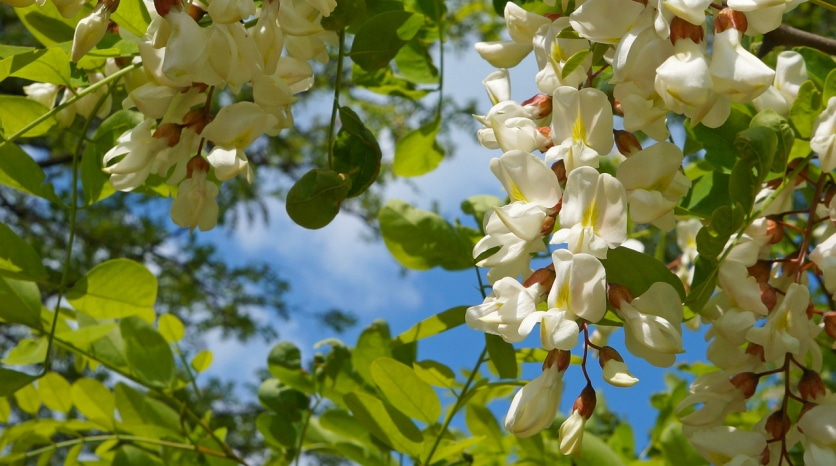 Цветки белой акации