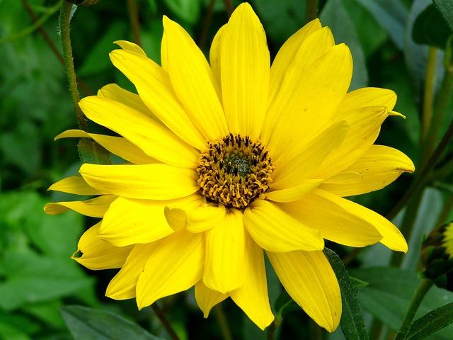 Арника горная - цветы