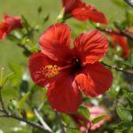 Как цветет гибискус
