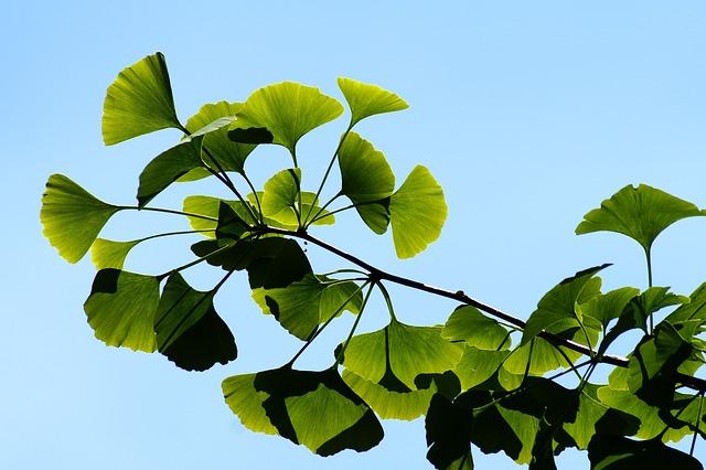 Гингко билоба - как растет
