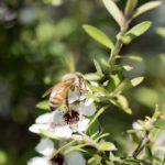Мед манука: лечкарство от болезней