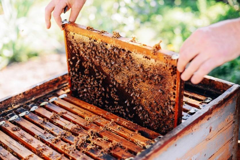 Мед из цветков золотарника - как делают